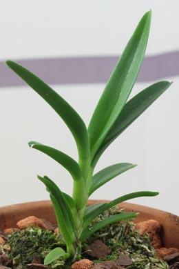Ceratostylis (rubra) restiquama