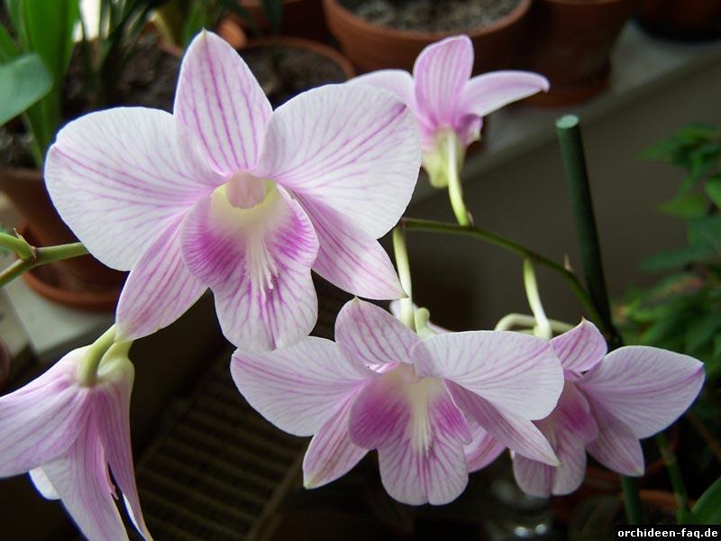 Dendrobium Blüten