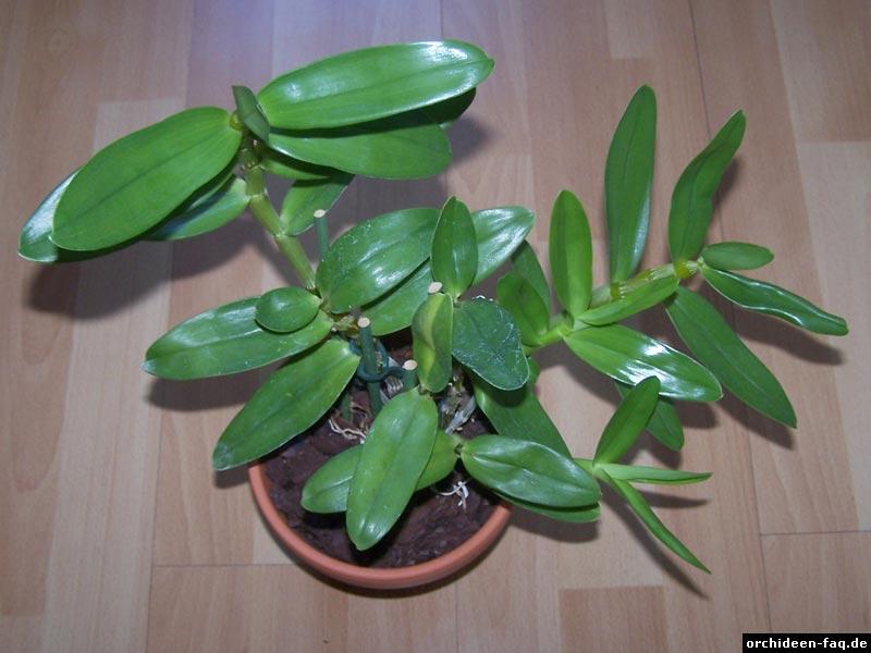 Dendrobium nobile Habitus