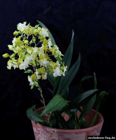 Oncidium-Hybride