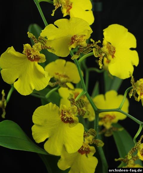 Oncidium-Blüten