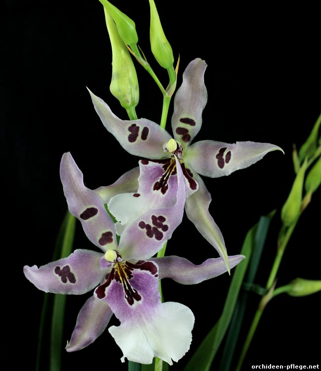 Beallara Peggy Ruth Carpenter