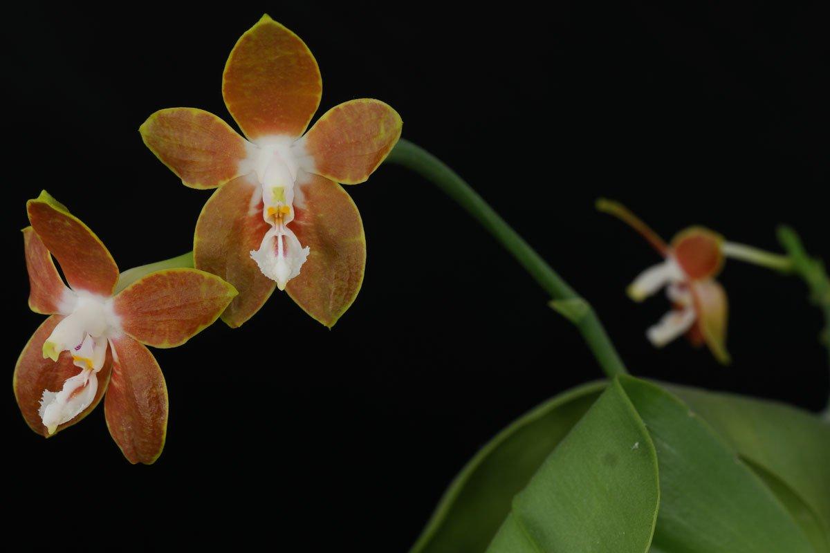 phalaenopsis venosa. Black Bedroom Furniture Sets. Home Design Ideas