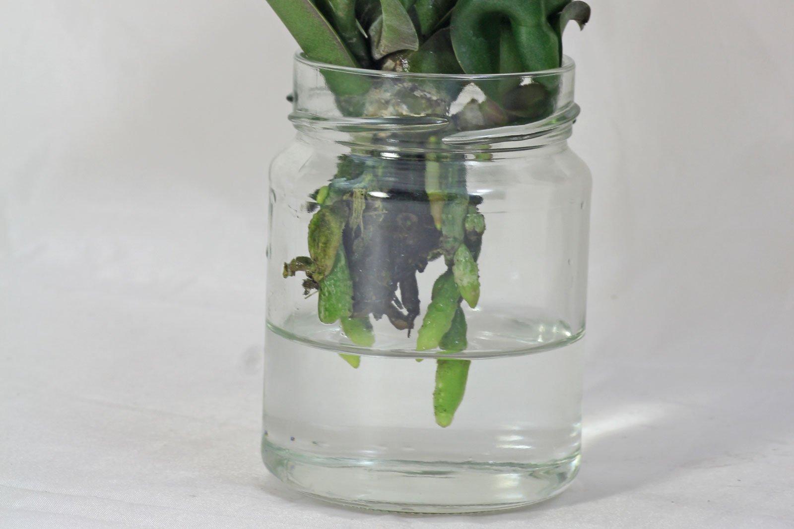 Phalaenopsis Wurzeln