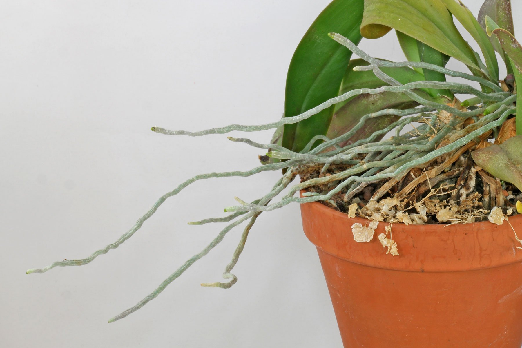 Phalaenopsis Luftwurzeln