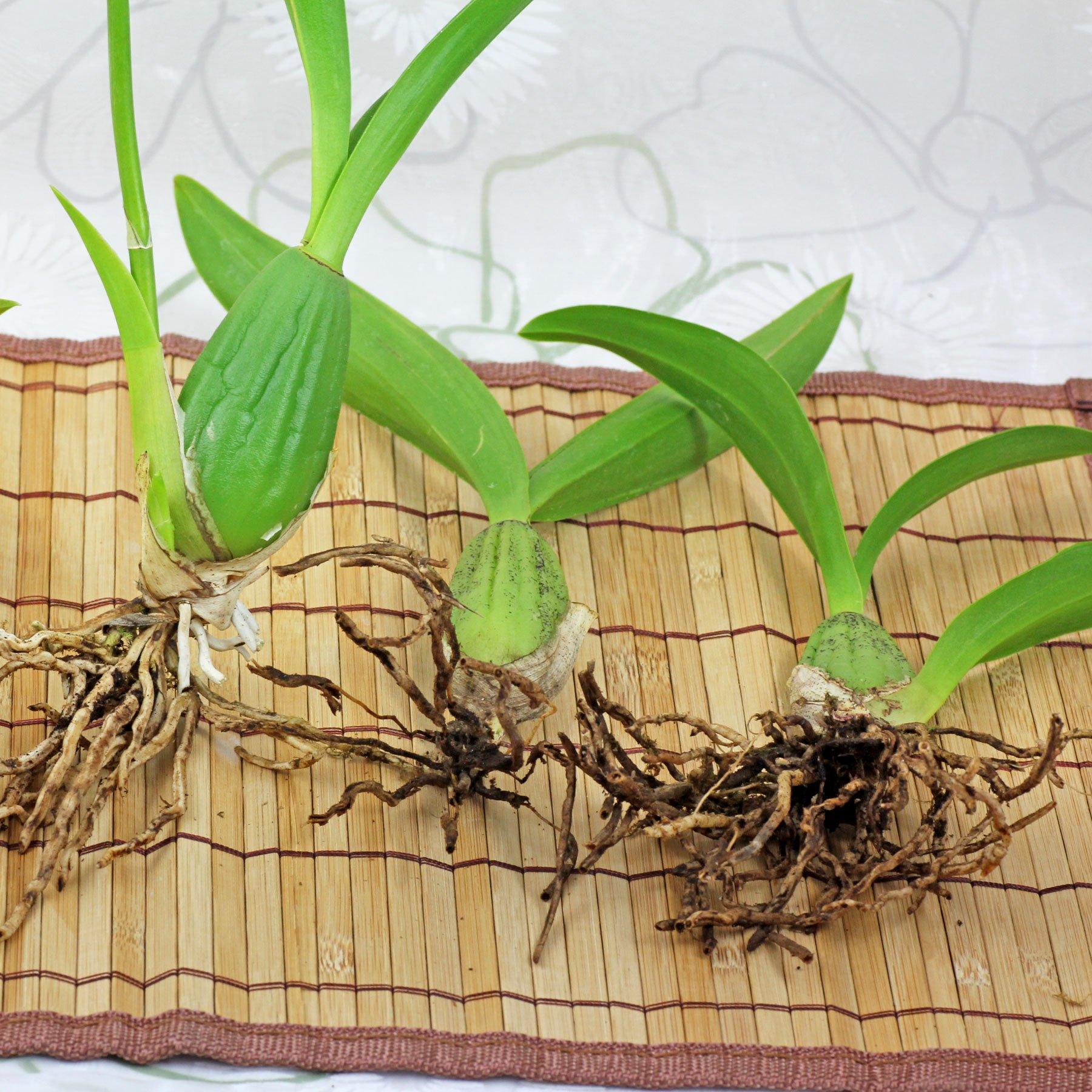 Oncidium vermehren